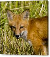 Red Fox Pictures 34 Canvas Print