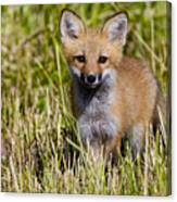 Red Fox Pictures 7 Canvas Print