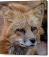 Red Fox Portrait 2 Canvas Print