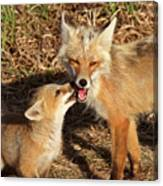 Red Fox Vixen With Pup On Hecla Island In Manitoba Canvas Print