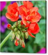 Red Fresh Geraniums Canvas Print