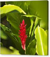 Red Ginger Flower Canvas Print
