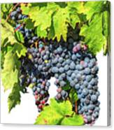 Red Grapes Seasonal Background Canvas Print