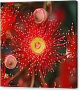 Red Gum Flower Macro Canvas Print