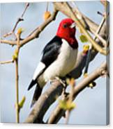 Red-headed Woodpecker At A Glace  Canvas Print