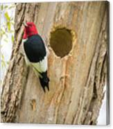 Red-headed Woodpecker At Home Canvas Print