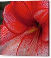 Red Hippeastrum Charisma Canvas Print
