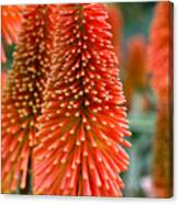 Red-hot Poker Flower Kniphofia Canvas Print