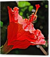 Red Hyacinth At Pilgrim Place In Claremont-california Canvas Print