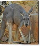 Red Kangaroo Canvas Print