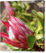 Red King Protea Bud Canvas Print
