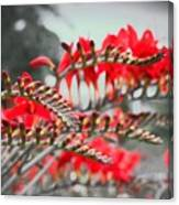 Red Lady Fingers Canvas Print