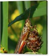 Red-legged Locust Canvas Print
