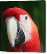 Red Macaw Canvas Print