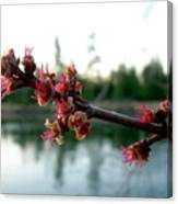 Red Maple Buds At Dawn Canvas Print