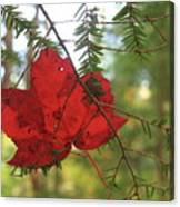 Red Maple Leaf On Hemlock Canvas Print