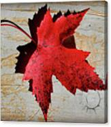 Red Maple Leaf With Burnt Edge Canvas Print