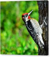 Red-naped Sapsucker Canvas Print