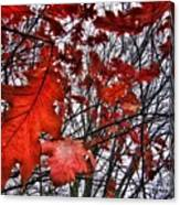 Red Oaks Canvas Print
