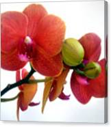 Red Orchid Flowers 02 Canvas Print