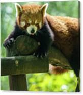 Red Panda Ailurus Fulgens Jerez De La Frontera Spain Canvas Print