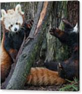 Red Panda Cubs At Play Canvas Print