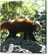 Red Panda In A Tree Canvas Print