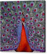 Red Peacock Canvas Print