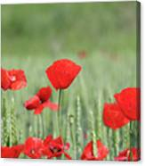 Red Poppy Flower And Green Wheat Nature Spring Scene Canvas Print