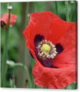 Red Poppy Getting All The Attention Canvas Print