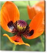 Red Poppy I Canvas Print