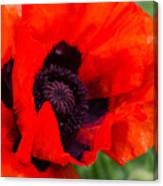 Red Poppy Canvas Print