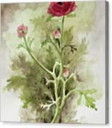Red Ranunculus Canvas Print