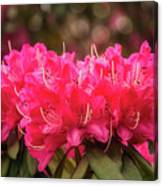 Red Rhododendron Flowers At Floriade, Canberra, Australia. Canvas Print