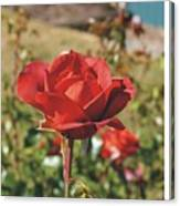 Red Rose 1 Canvas Print