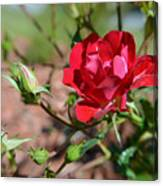 Red Rose And Buds Canvas Print