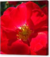 Red Rose Art Print Sunlit Roses Botanical Giclee Baslee Troutman Canvas Print