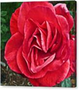 Red Rose F135 Canvas Print