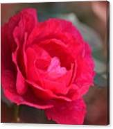 Red Rose Of May Canvas Print
