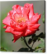 Red Rose On A Bush Canvas Print