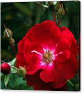 Red Rose With Buds Canvas Print