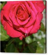 Red Rose With Droplet Canvas Print