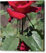 Red Rose With Stem Canvas Print