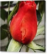 Red Rosebud  Canvas Print