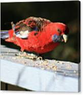 Red Rosella Canvas Print