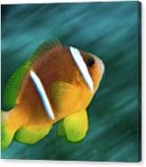 Red Sea Clownfish  Canvas Print