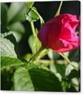 Red Semi Rose Bud Canvas Print