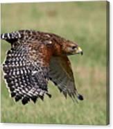 Red-shouldered Hawk Flight Canvas Print