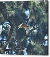 Red Shouldered Hawk Flying Away 1 Canvas Print