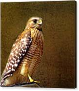 Red-shouldered Hawk Canvas Print